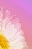 Single White Daisy on Pink Stock Photo