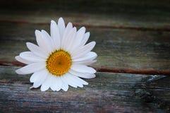 Single white daisy Royalty Free Stock Photo