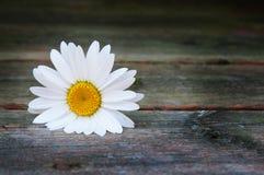 Single white daisy Royalty Free Stock Images