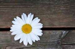 Single white daisy Royalty Free Stock Image