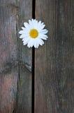 Single white daisy Stock Photography