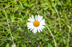 Single white daisy seen from above against a green grass background Royalty Free Stock Photos