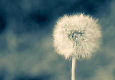 Single white dandelion with blurred background. Abstract look of single white dandelion with blurred background.Cold tone effect Royalty Free Stock Photography