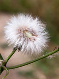 Single white dandelion fluff flower head intact whole royalty free stock images