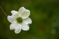 Single White Dogwood Bloom Royalty Free Stock Photography