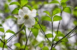 Single White dogwood tree bloom in the spring. Close up of White dogwood tree flower bloom in spring time Stock Photo