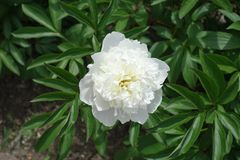 Single white double flowered peony in june. Single pure white double flowered peony in june Stock Photography