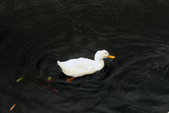 Single white duck Stock Image