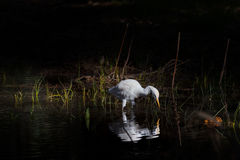 Single White Egypt egret looking to water royalty free stock images