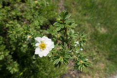 Single white five-petaled flower of shrubby cinquefoil Royalty Free Stock Images