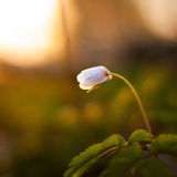 Single white flower Royalty Free Stock Images