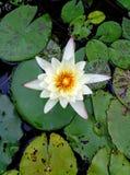 Among Lilypads. royalty free stock photo