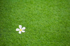 Single white flower on green grass background, selective focus. Copy space Royalty Free Stock Image