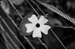 Single White Flower Intertwined with Metal Wire in Black and White Stock Images