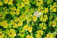 Single white flower isolated. Stock Photography