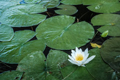 Lily Pads with Single Blossom stock photo
