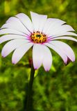 Closeup of one large white margarita daisy. Royalty Free Stock Images