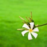Single white frangipani flower Stock Photo
