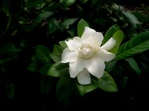 Single White Gardenia Flower Blooming. The Single White Gardenia Flower Blooming in The Garden stock photography