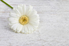 Single white gerbera daisy on wooden background Stock Photos