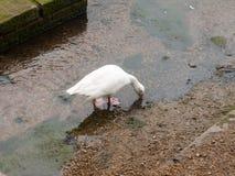 Single white goose feeding from the running stream below. Essex; England; UK royalty free stock photos