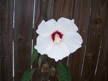 A solitary white hardy hibiscus. A single white hardy hibiscus flower with a dark red center blooms against a weathered wooden fence royalty free stock image