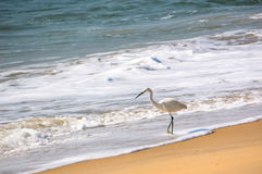 Single white Heron catches a fish on the beach Royalty Free Stock Photography