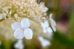 Single White Hydrangea Floret. Hangs in a blurry family of buds Royalty Free Stock Photo