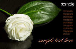 The single white lisianthus. Isolated on black Stock Photo