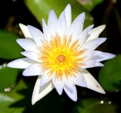 Single white lotus Royalty Free Stock Photo