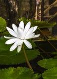 Single white lotus in pond Stock Image