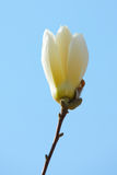 Single white magnolia Stock Photos
