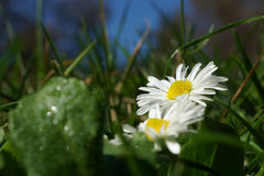 Single white Marguerite, daisy in green grass meadow Stock Image