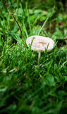 A white mushroom growing in the grass. A single white mushroom growing in the grass and weeds. Shallow depth of field Royalty Free Stock Image