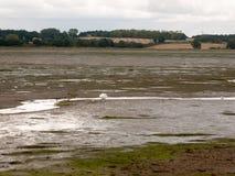 Single white mute swan in far off stream in estuary stock photo