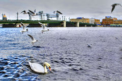 Single white mute swan swims in river city, Saint-Petersburg, Ru Stock Image