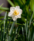 A single white narcissus flower in a cultivated english garden with the background of green arrow-shaped leaves. White narcissus seen from the side royalty free stock photos