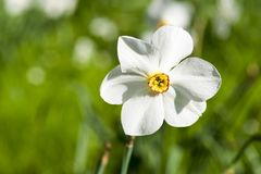 Single white narcissus flower with yellow heart in front of green background in nature. The flower is also known as daffodil, daff. Adowndilly and jonquil. Shot stock image
