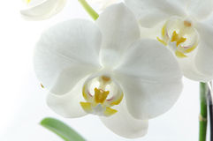 Single white orchid Stock Photo