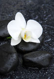 Single white orchid and black stones close up. Royalty Free Stock Image