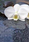 Single white orchid and black stones close up. Royalty Free Stock Photos