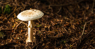 Single white poisonous toadstool in pine needles. Horizontal photo of single white poisonous toadstool. Mushrooms grows in dark brown dry pine needles stock photos
