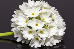 Single white primula denticulata isolated on black background close up Stock Photo