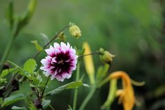 A white and purple Dahlia flower in green background. stock photography