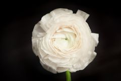White ranunculus Royalty Free Stock Photo
