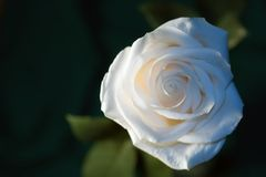 Single white rose. Under natural lighting Royalty Free Stock Photo