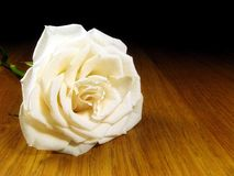 Single white rose. Landscape photo of a single white rose royalty free stock image