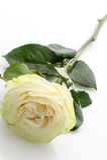 Single white rose Royalty Free Stock Image