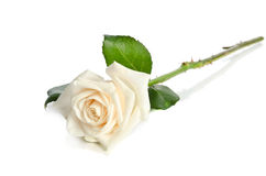 Single white Rose Royalty Free Stock Images