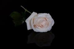 Single white rose on black Royalty Free Stock Images